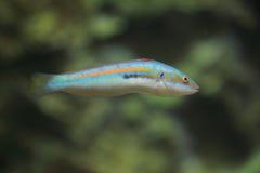 Среднеземноморской wrasse радуги Стоковая Фотография