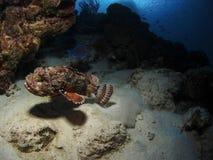 Средний-полет Scorpionfish Стоковое Изображение