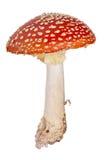 Средств красный пластинчатый гриб мухы изолированный на белизне Стоковое Фото