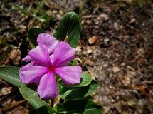 Средств фиолетовый цветок Стоковое Изображение