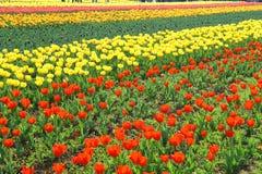 СРИНАГАР, ИНДИЯ апрель 2017: Красивые красочные тюльпаны в фестивале тюльпана стоковые изображения