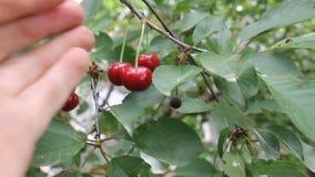Срывает очень вкусную красную вишню от дерева сток-видео