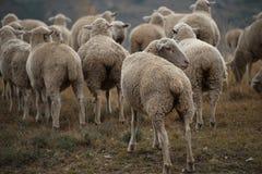 Стадо африканских овец Merino Стоковые Фото