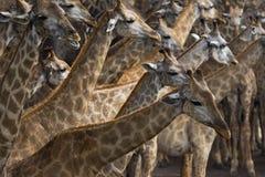 Стадо африканского жирафа на поле sawanna Стоковое фото RF