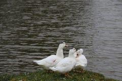 Стадо белых гусынь купая в реке и идя вдоль берега Стоковое Фото