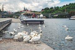 Стадо белых лебедей в водах реки Влтавы в Праге на вечере лета на предпосылке моста Стоковые Изображения