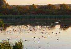 Стадо белых цапель на озере Стоковые Изображения