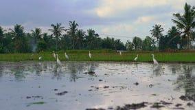 Стадо белых цапель на хранят рисе, который Поле покрыто с грязной водой и подготовлено для засаживать риса r видеоматериал