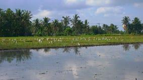 Стадо белых цапель на хранят рисе, который Поле покрыто с грязной водой и подготовлено для засаживать риса r сток-видео