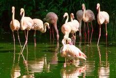 Стадо больших фламинго wading в озере Стоковые Фото