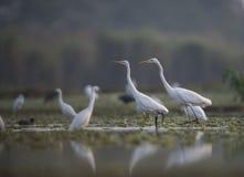Стадо больших Egrets Стоковое фото RF