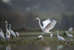 Стадо больших Egrets Стоковая Фотография RF