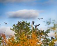 Стадо ворон отдыхая в кроне сосны Стоковое Фото