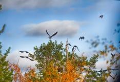 Стадо ворон отдыхая в кроне сосны Стоковое Изображение