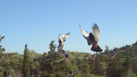 Стадо голубей в замедленном движении видеоматериал