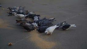 Стадо голубей клюет зерно от земли теплый сезон 4k сток-видео