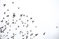 Стадо голубей летает через небо Птицы летают против s стоковые фотографии rf
