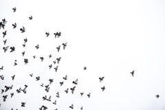 Стадо голубей летает через небо Птицы летают против s Стоковое Изображение