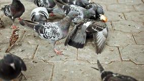 Стадо голубей питаясь в парке видеоматериал