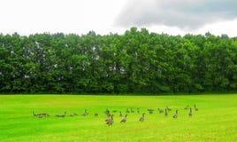 Стадо гусынь в поле стоковые фотографии rf