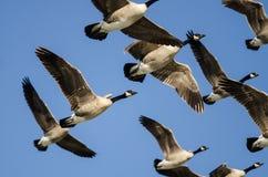 Стадо гусынь Канады летая в голубое небо Стоковые Изображения