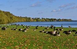 Стадо гусынь Канады отдыхая озером Стоковые Изображения RF