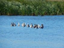 Стадо гусынь плавает в красивом реке в солнечном лете Стоковое Изображение RF