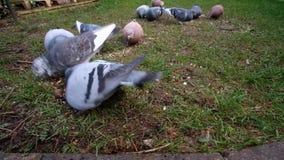 Стадо диких голубей питаясь в городском саде дома акции видеоматериалы