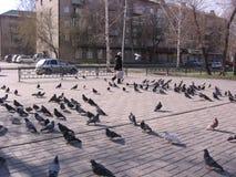 Стадо диких голубей птиц идет на улицы города стоковая фотография