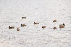 Стадо диких уток купает в озере осени в пасмурной погоде стоковое изображение