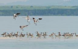 Стадо евроазиатского Curlew проникло от северной земли к острову Libong Стоковая Фотография RF