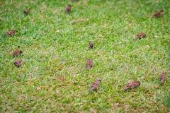 Стадо евроазиатской птицы воробья дерева ищет еда на gras Стоковые Изображения RF
