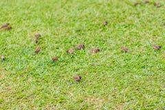 Стадо евроазиатской птицы воробья дерева ищет еда на gras Стоковое фото RF