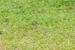 Стадо евроазиатской птицы воробья дерева ищет еда на gras Стоковая Фотография