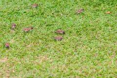 Стадо евроазиатской птицы воробья дерева ищет еда на gras Стоковые Изображения