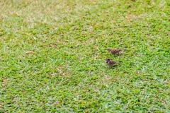 Стадо евроазиатской птицы воробья дерева ищет еда на gras Стоковая Фотография RF