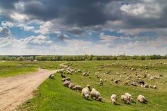 Стадо коз и овец на речном береге весной, в сельском районе в Европе Стоковая Фотография RF