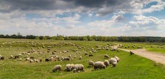 Стадо коз и овец на речном береге весной, в сельском районе в Европе Стоковое Фото