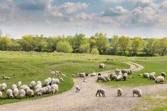 Стадо коз и овец на речном береге весной, в сельском районе в Европе Стоковое фото RF
