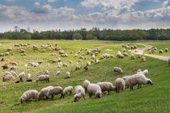 Стадо коз и овец на речном береге весной, в сельском районе в Европе Стоковое Изображение