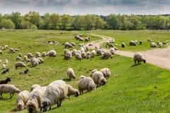 Стадо коз и овец на речном береге весной, в сельском районе в Европе Стоковые Фотографии RF