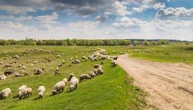 Стадо коз и овец на речном береге весной, в сельском районе в Европе Стоковые Изображения
