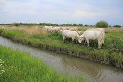 Стадо коров, Charolais в выгоне вдоль ямы в лете Стоковое Фото
