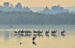 Стадо кранов на озере восход солнца валы силуэта утра ландшафта дома тумана стоковые фото