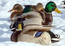 Стадо крякв на снеге Птицы на пруде в зиме Стоковые Фото