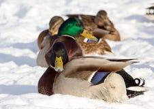 Стадо крякв на снеге Птицы на пруде в зиме Стоковое фото RF
