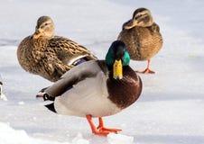 Стадо крякв на снеге Птицы на пруде в зиме Стоковые Изображения
