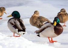 Стадо крякв на снеге Птицы на пруде в зиме Стоковая Фотография RF