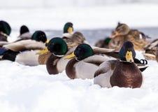 Стадо крякв на снеге Птицы на пруде в предыдущей весне Стоковое Фото