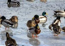 Стадо крякв на снеге Птицы на пруде в предыдущей весне Стоковое Изображение RF